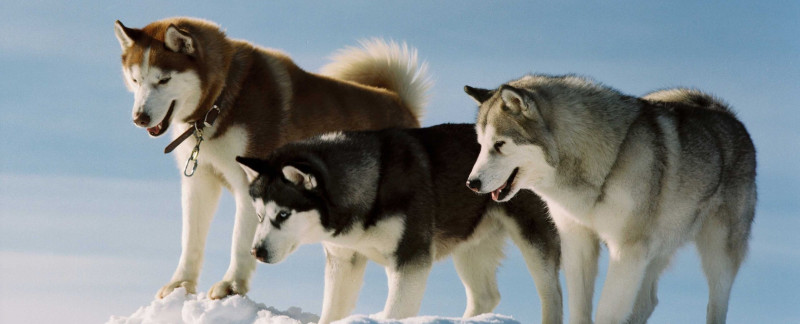 Siberian Husky characteristics featured image
