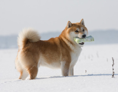 Gorgeous Shiba Inu in the snow