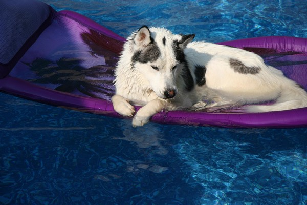 Siberian Husky care is crucial during summer!
