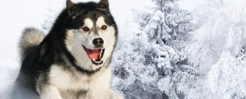 Siberian Husky temperament featured image