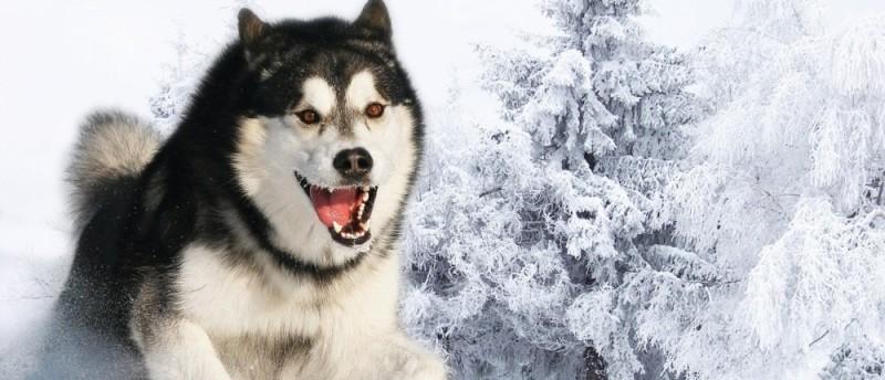 Siberian Husky temperament featured image