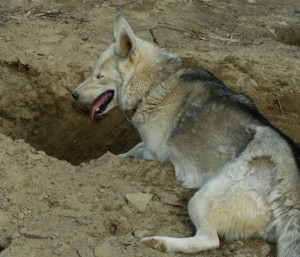 Digging is one of the most annoying habits of a Siberian Husky dog breed