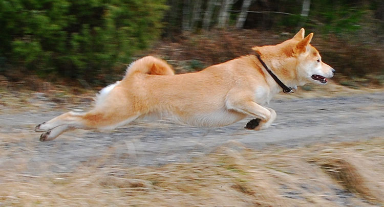 Shibas are very agile dogs, which can jump long and high
