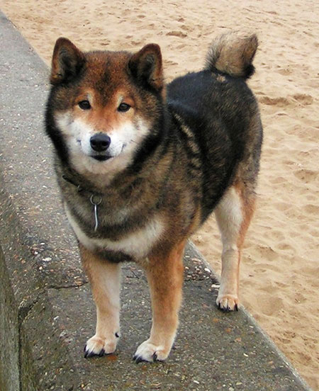 Main Shiba Inu Characteristics And Traits