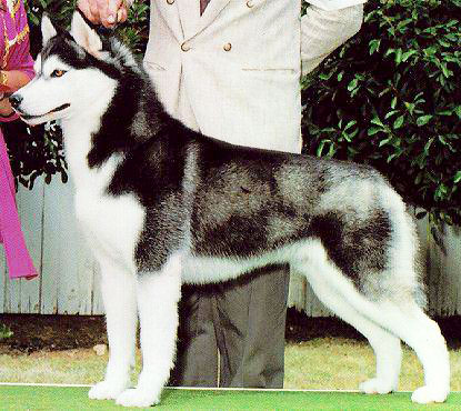 Training a Siberian Husky on obedience is a matter of consistency