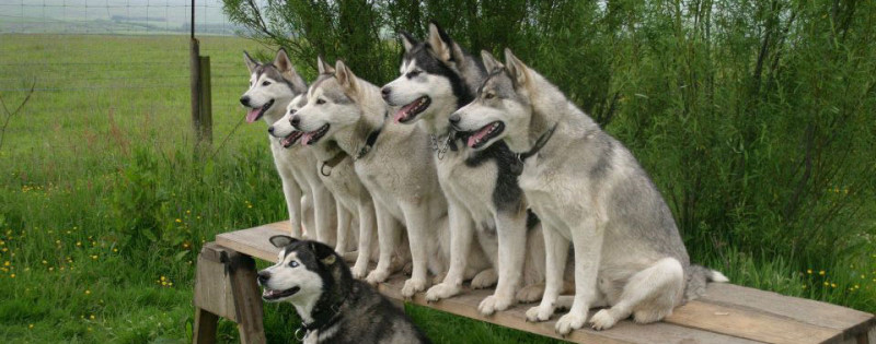 Training A Siberian Husky featured image