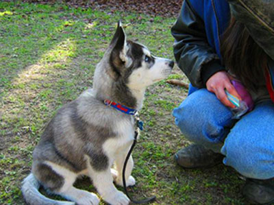 Make the lessons of basic commands for your Husky short, but do'em on a daily basis