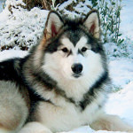 Ten Most Amazing Alaskan Malamute Facts