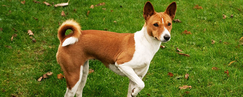 Basenji dog characteristics featured image