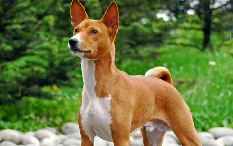 The Basenjis are powerful dogs always ready for some action