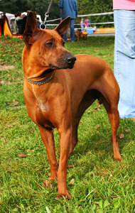 Yellow or Chestnut color is just one of four main Thai Ridgeback colors