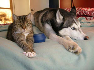Yes, your Husky can live peacefully with your cat!
