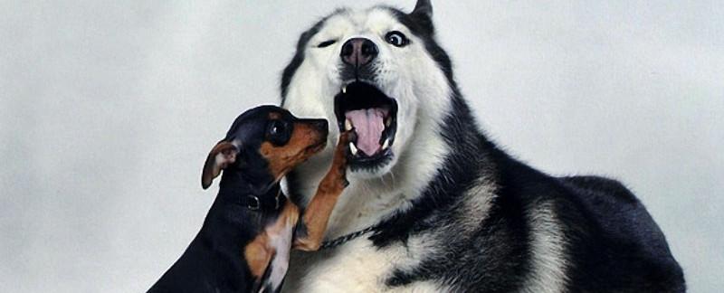 Siberian Husky behavior issues featured image