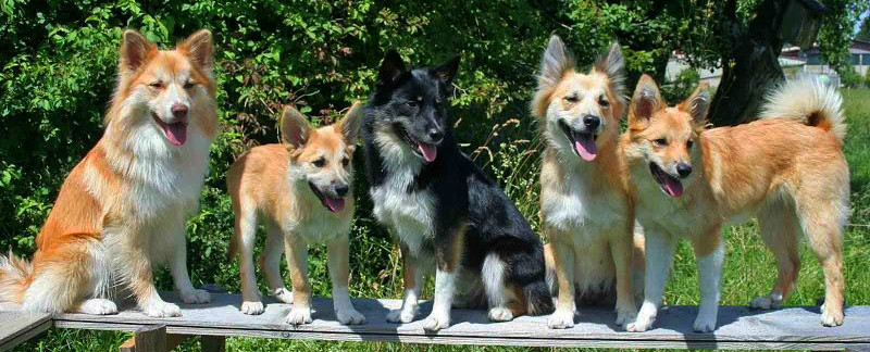Icelandic Sheepdog characteristics featured