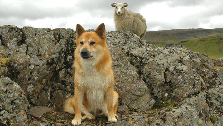 Icelandic Sheepdog is the perfect companion for every shepherd