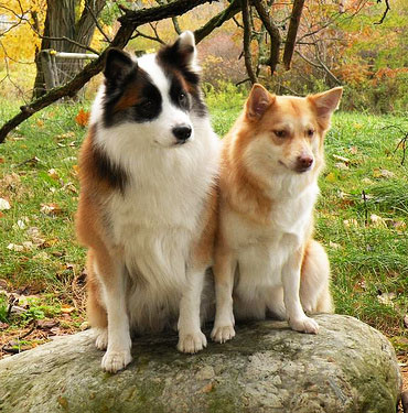 Icelandic Sheepdog Characteristics And Facts