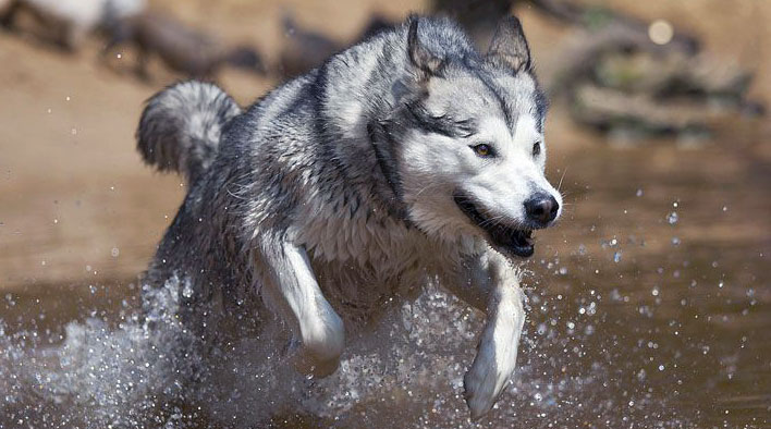 Alaskan Malamutes are known to be very strong and agile dogs