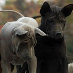 Thai Ridgeback Breed Info And Characteristics