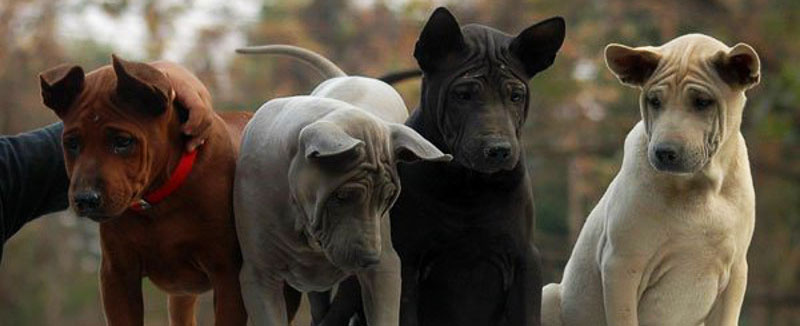 Thai Ridgeback breed featured image