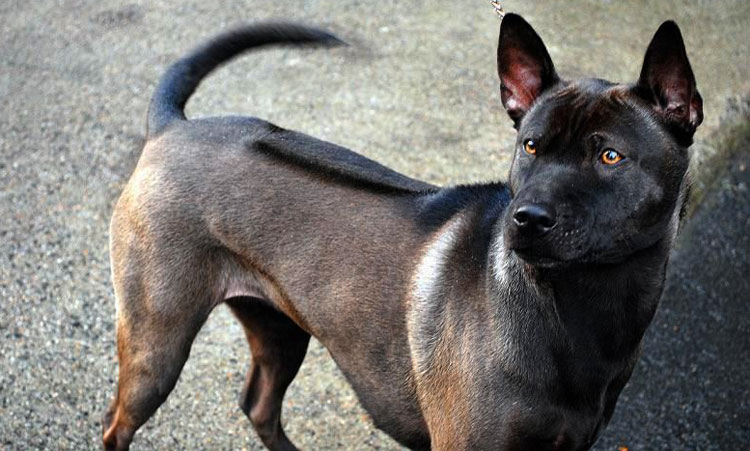 Thai Ridgeback's ridge is his unique characteristic