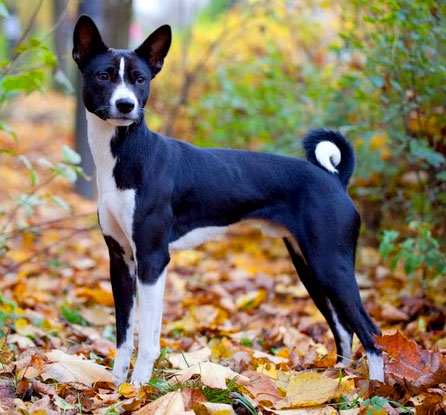 Long legs are the one of the most recognizable physical Basenji dog characteristics!