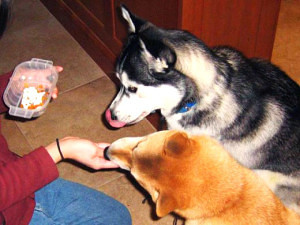 Siberian Husky food aggression is easy to correct with proper exercise!