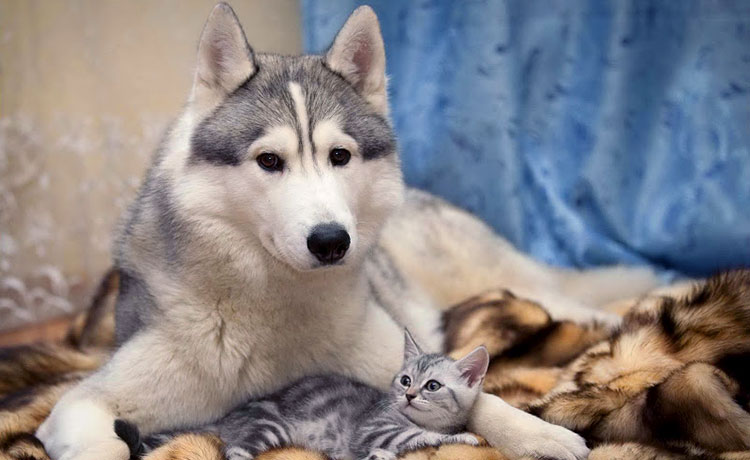 Husky behavior issues with cats are common, but you can correct them!