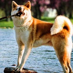 Information On Japanese Akita Dog Characteristics And Traits