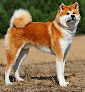 The bear like head is one of the main physical Akita dog characteristics