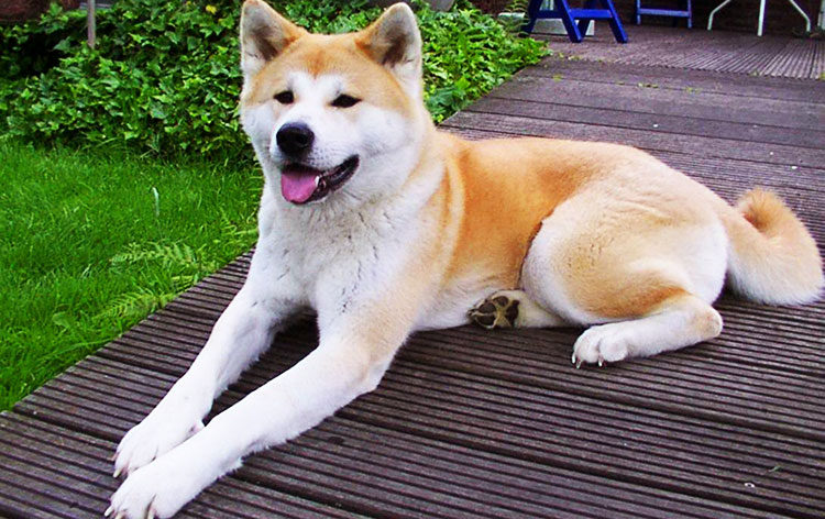 Akita Inu is very graceful and strong dog