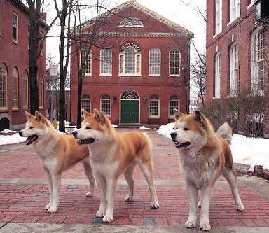 Layla, Chico, and Forrest, three famous Akita Inu dogs in the role of Hachi