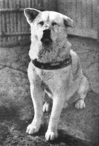 One of the original pictures of loyal dog Hachikō with his recognizable folded ear!