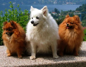 Red Florentine Spitz dogs are very rare today