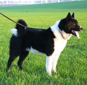 Karelian Bear Dog breed is a national treasure in Finland