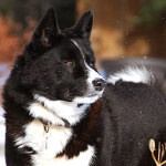 Karelian Bear Dog Personality And Information