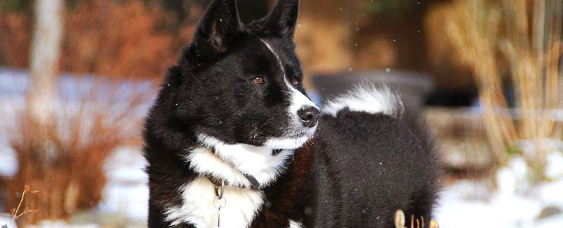 Karelian Bear Dog featured image
