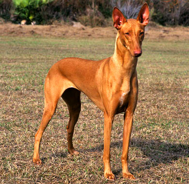 Kelb tal-Fenek is a gracious and elegant hound from Malta