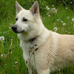 Everything You Need To Know About Norwegian Buhund Dog