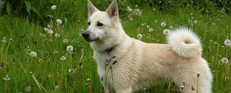Norwegian Buhund dog featured image