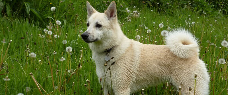 Norwegian Buhund dog featured image