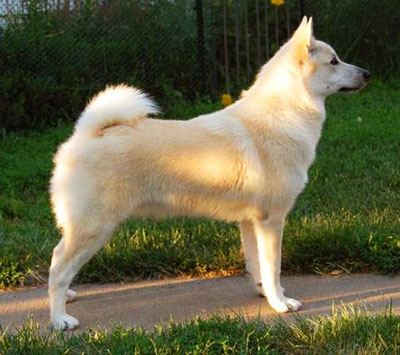 Norwegian Buhund is an compact and very agile dog