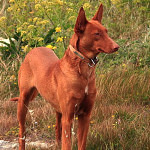 Pharaoh Hound Breed Info And Characteristics