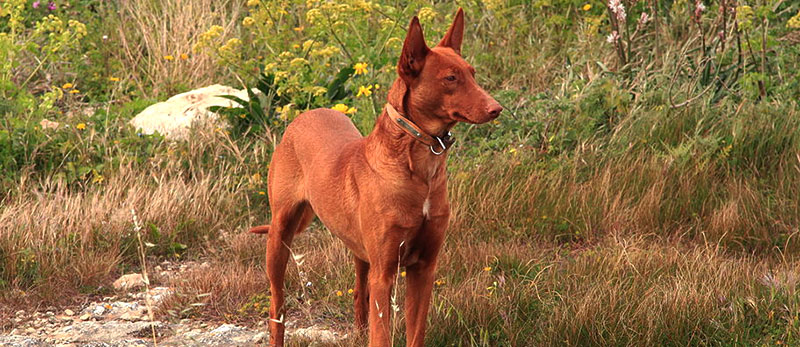 Pharaoh Hound featured image