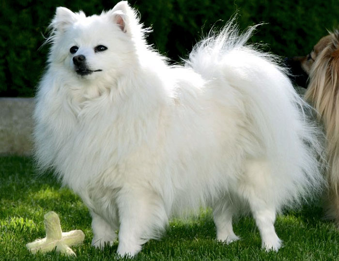 Volpino Italiano dog has a long, fluffy coat. which gives him elegant look