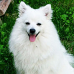 Volpino Italiano Dog Information And Characteristics
