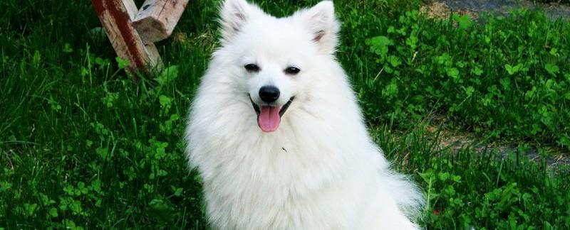 Volpino Italiano dog featured