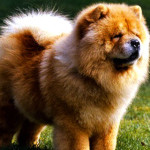 Chow Chow Dog Information And Characteristics