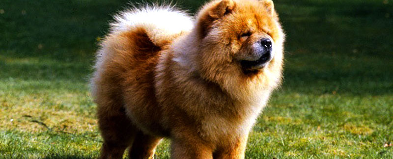 Chow Chow dog featured image