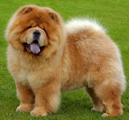 Chow Chow dog is a beautiful family dog