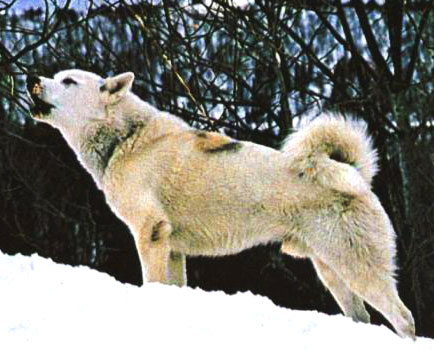 Greenland Dog is the embodiment of pure strength and agility